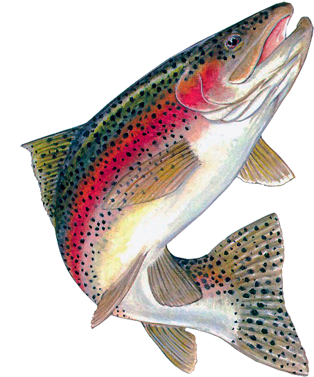 Rainbow Trout New Mexico Fly Fishing Guide